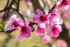 ruta de la flor del melocotonero con Alcarràs Florit