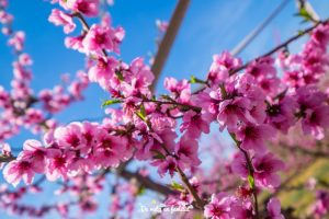 ruta de la flor del melocotonero por el Segrià por libre